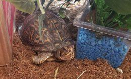 [Eastern Box Turtle}