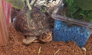 [Eastern Box Turtle}