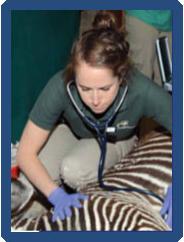 Jennifer Flower, with her stethoscope around her neck, kneels next to a zebra,