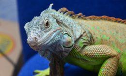 [reptile - iguana]