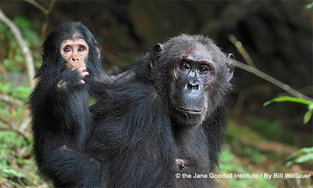 [chimps copyright: Jane Goodall Inst.; Bill Wallauer
