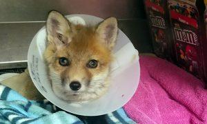 [fox pup]