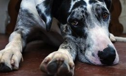 [photo of great dane]