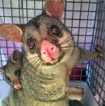 [brushtail opossums]