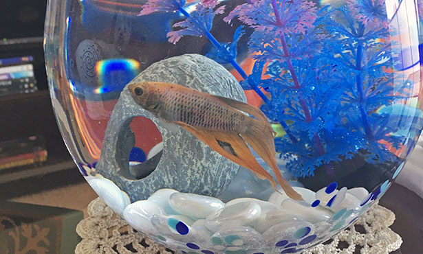 [Francisco the betta fish]