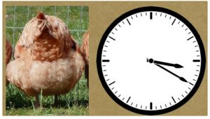 Chicken with Clock Face