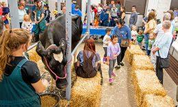 [cow milking at Vet Med Open House]