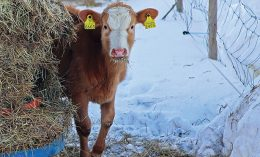 Cow in winter environment