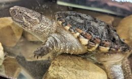 [juvenile snapping turtle]