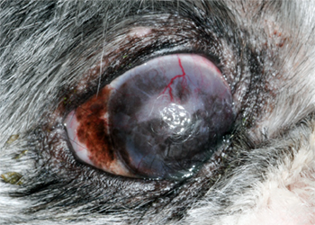 [impact of dry eye in a dog]