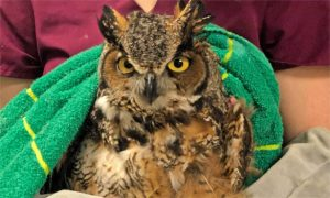 [a great horned owl]