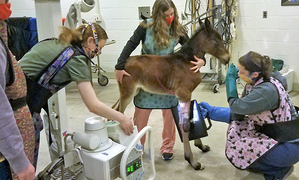 [radiographing foal's leg]