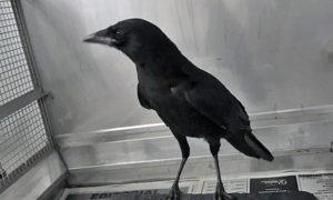 [American crow]
