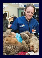 Dr. Julie Sheldon smiles as she treats a sloth under anesthetic.