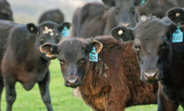 [cattle]