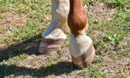 [horse's hooves]