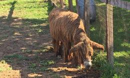 [a female Baudet du Poitou donkey]