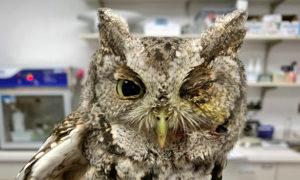 [eastern screech owl]