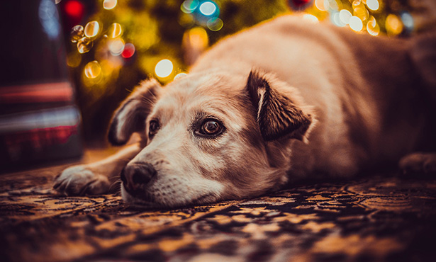 [dog in front of holiday decor]