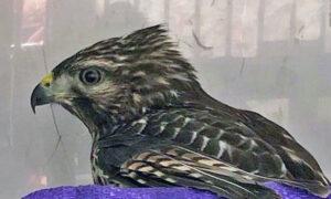 [red-shouldered hawk]
