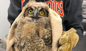 [baby great horned owl]