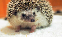 [pet hedgehog]