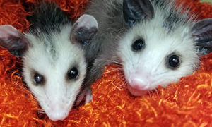 [two baby Virginia opossums]