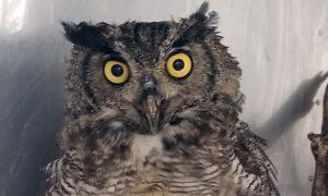 [great horned owl]