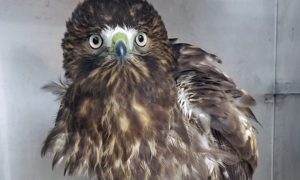 [red-tailed hawk]