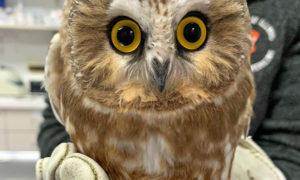 [saw-whet owl]