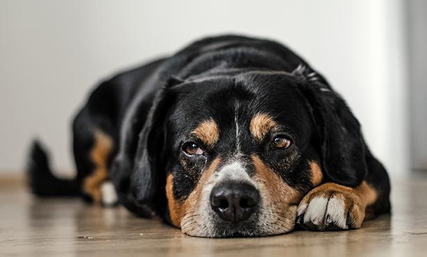 [canine influenza - dog]