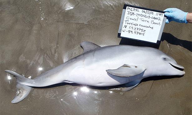 [dead baby dolphin on a beach]