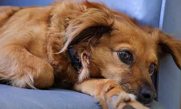 [sick dog canine influenza]