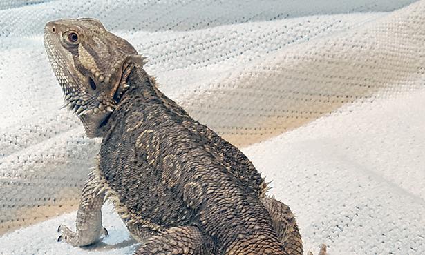 a bearded dragon named Frankie