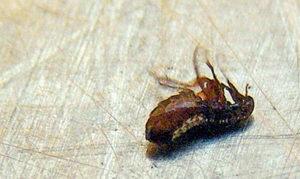 [dead flea]