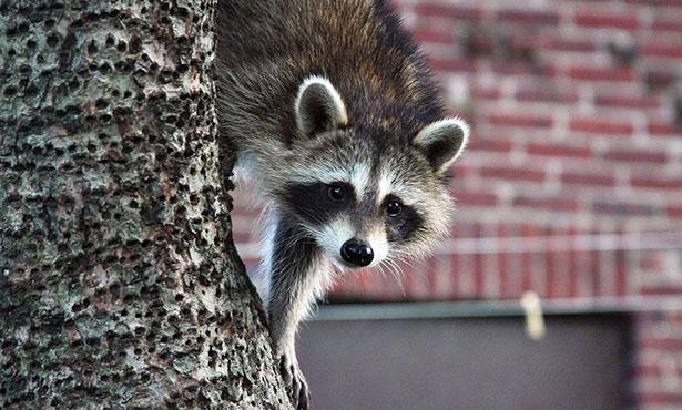 [raccoon]
