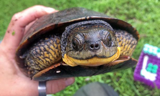 [Blanding's turtle]