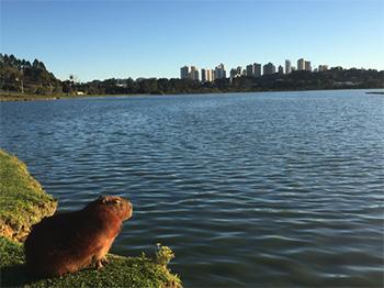 [a capybara in Curitiba, Brazil]
