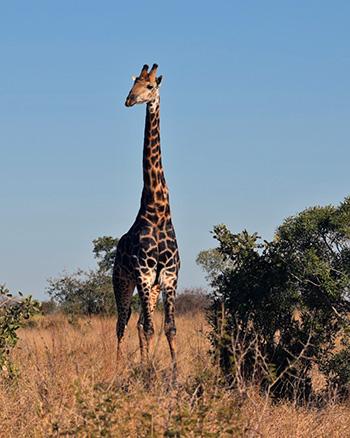 [a giraffe at Kruger National Park]