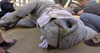 [a rhino undergoing a procedure at Kruger National Park]