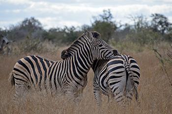 [two zebras in Kruger National Park]