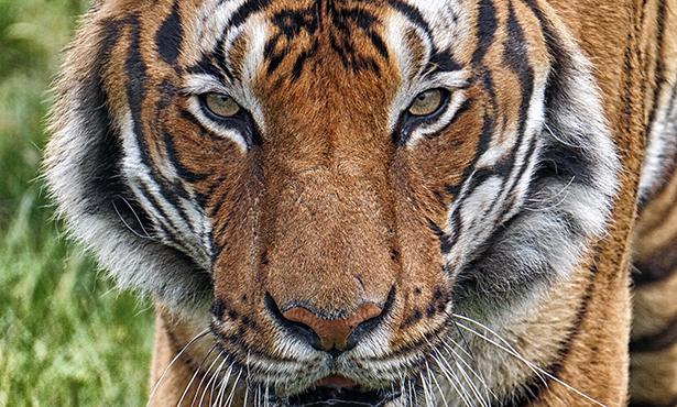 [malayan tiger]