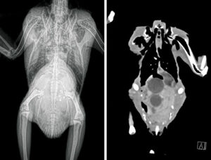 An African grey parrot with egg coelomitis, radiograph and CT side by side.