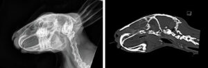 A rabbit with a retrobulbar abscess secondary to severe dental disease, radiograph and CT side by side.